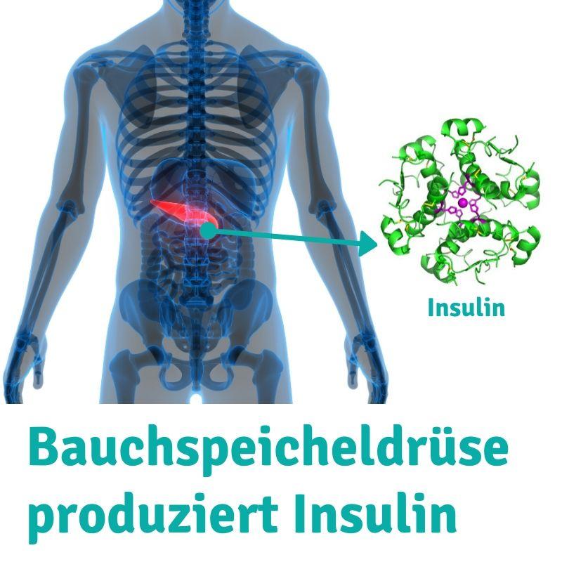 Bauchspeicheldrüse-produziert-Insulin